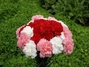 190375_anyelir-putih-pink-dan-merah